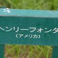 Photos: 薔薇 ヘンリー・フォンダ