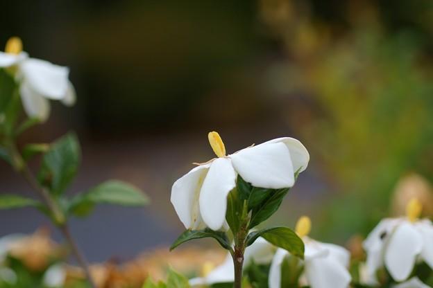Photos: 梔子(クチナシ)