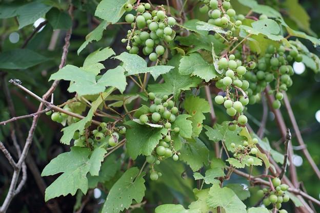 葡萄(ブドウ)