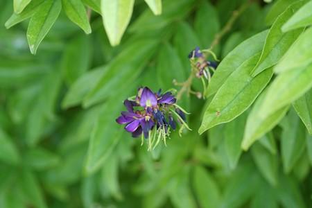 紫夏藤(ムラサキナツフジ)
