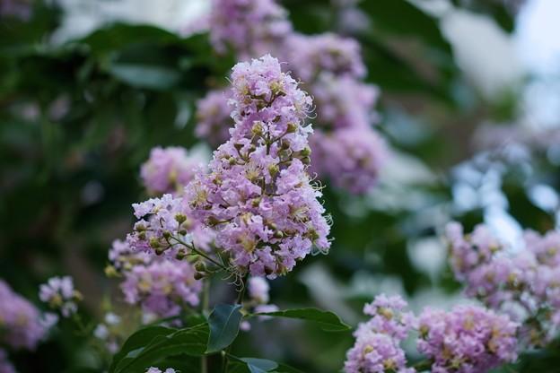 紫百日紅(ムラサキサルスベリ)
