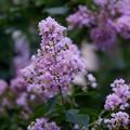 Photos: 紫百日紅(ムラサキサルスベリ)