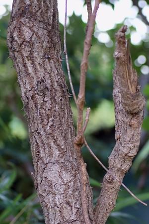 楤木(タラノキ)