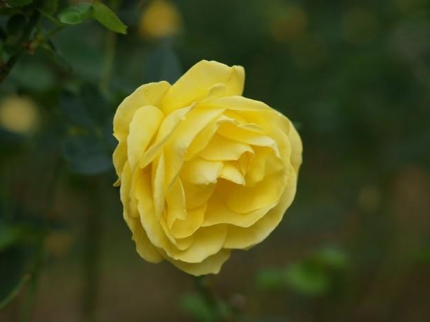 バラ イズノオドリコ