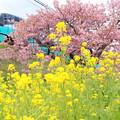 河津桜とスーパービュー