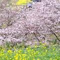 Photos: 春 その6