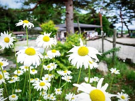 那須高原に咲く白い花