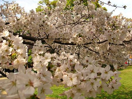 さくら咲く公園