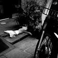 写真: 街猫981
