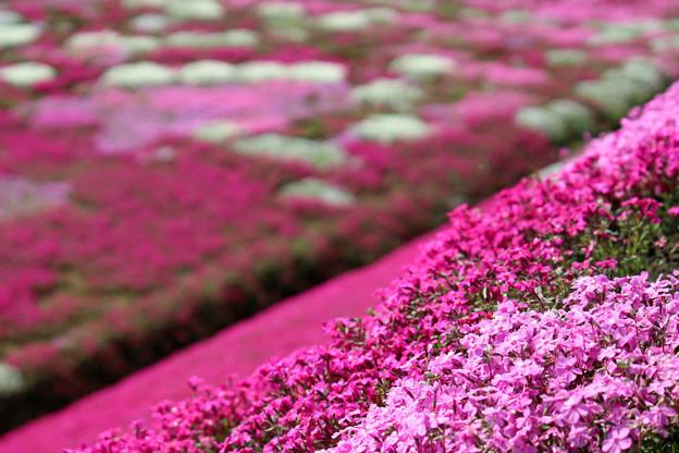 Photos: IMG_7216a芝桜の丘2
