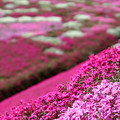 IMG_7216a芝桜の丘2