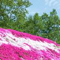 Photos: IMG_7432a芝桜の丘4