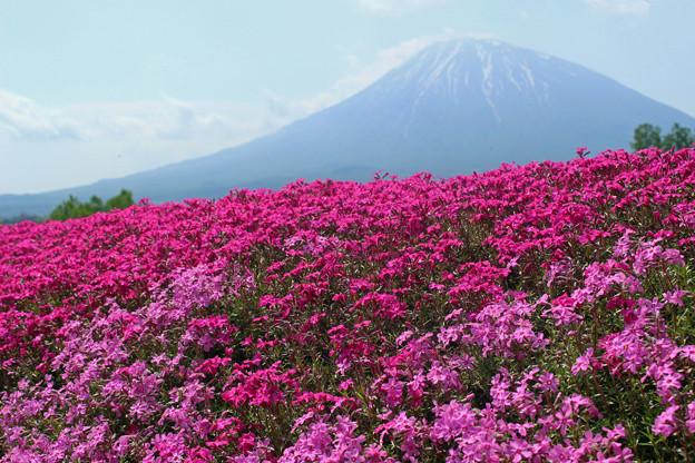 Photos: IMG_7472a芝桜と羊蹄山1