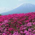 IMG_7472a芝桜と羊蹄山1