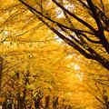 北大紅葉銀杏並木