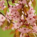 Photos: 新緑と桜