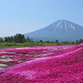 Photos: 芝桜と羊蹄山