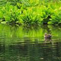 鴨と新緑の池IMG_1081a