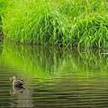 鴨と新緑の池IMG_1083b