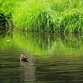 鴨と新緑の池IMG_1084b