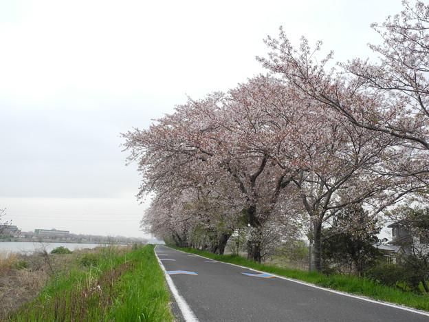 2018.04.03 桜川沿いのサクラ