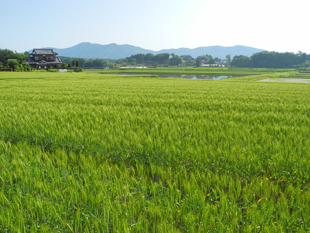 2018.05.15 きょうの風景(麦畑と青空)