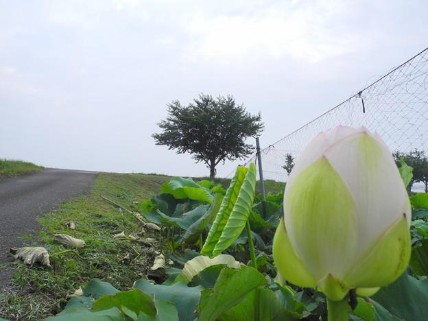 2018.07.13 きょうの風景(ハスの花と曇り空)