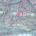 梅の花咲く