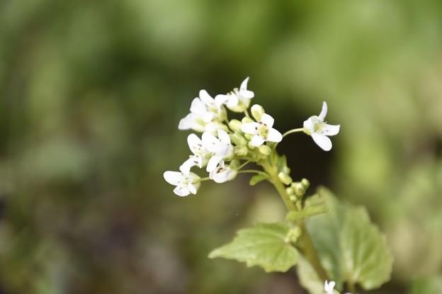 Photos: 花わさび