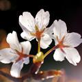 Photos: 裏見の桜