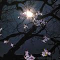 Photos: 川面の桜