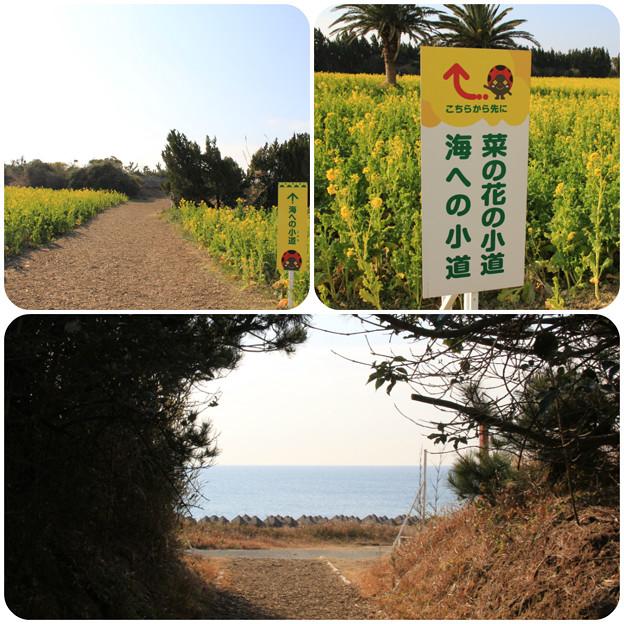 海への小道(渥美半島菜の花まつり/伊良湖菜の花ガーデン2018.2.10)