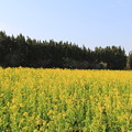 Photos: 渥美半島菜の花まつり(伊良湖菜の花ガーデン2018年2月10日)