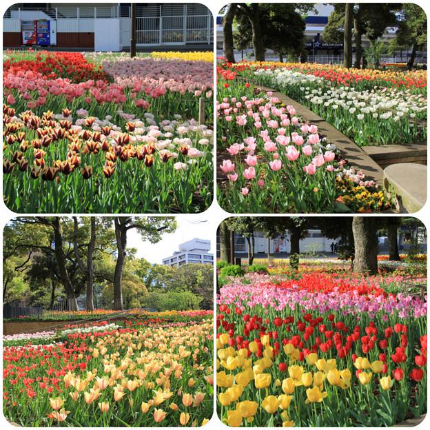 横浜公園_16万本のチューリップガーデン(2018年4月8日)