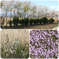 写真: 花咲く大石公園をお散歩(2018年4月8日)