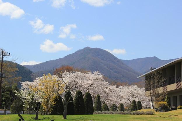 満開の桜(大石公園2018年4月8日)