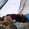 写真: お布団から離れたくない大地とミント