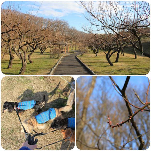 梅林の梅はまだつぼみ