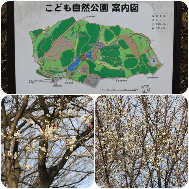 梅がお出迎え(こども自然公園2019年2月10日)