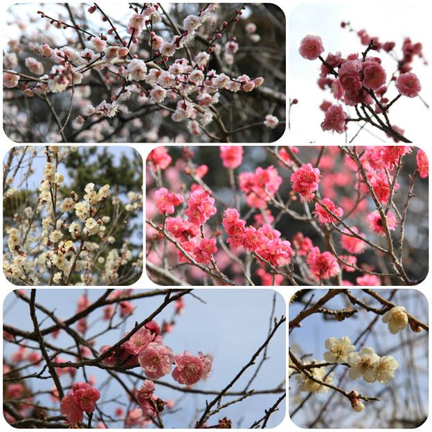 梅(こども自然公園2019年2月10日)