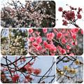 Photos: 梅(こども自然公園2019年2月10日)