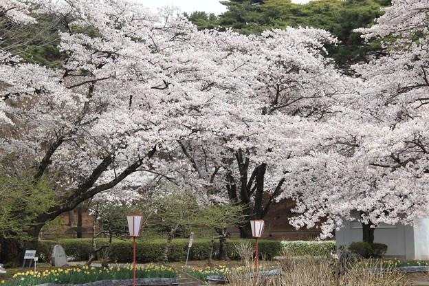 満開の桜がお出迎え(烏ヶ森公園2019年4月14日)