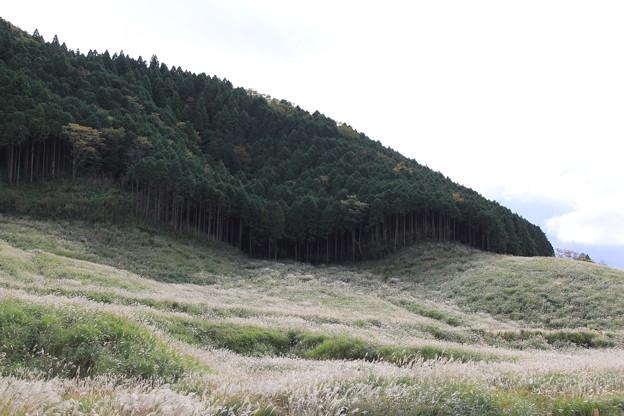 仙石原ススキ草原(2019年10月26日)