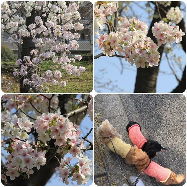 Photos: 桜がきれいだね