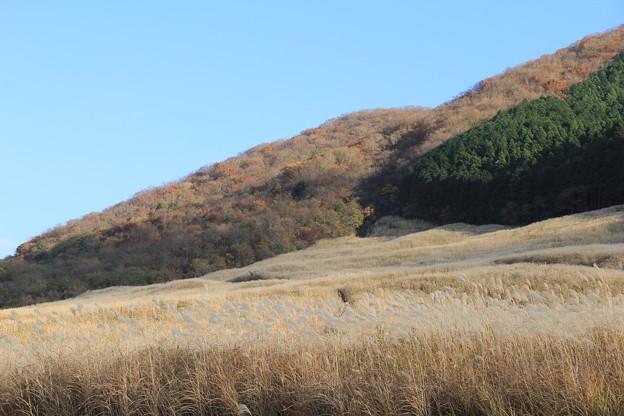 仙石原すすき草原(2020年11月15日)