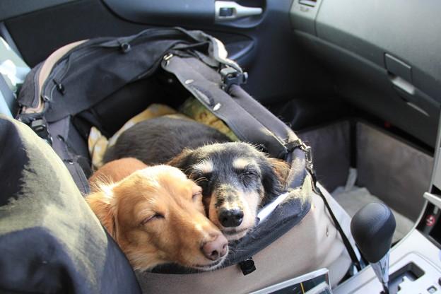 Photos: ドライブ中は寝んね