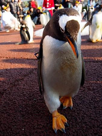 20131207 アドベン ペンギンパレード17