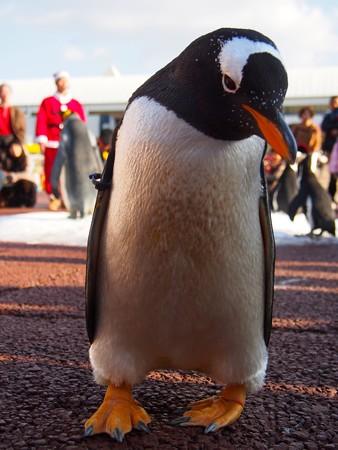 20131207 アドベン ペンギンパレード14
