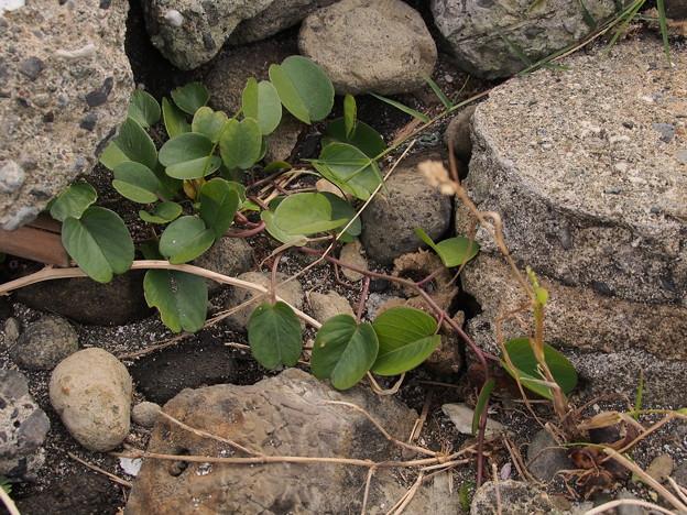 グンバイヒルガオ PA140904