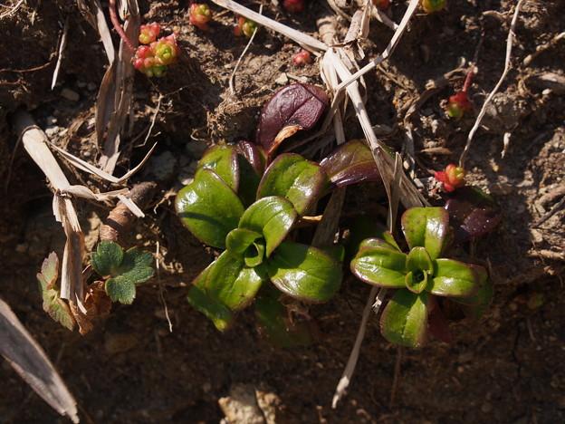 ハマナデシコ Dianthus japonicus P3046220